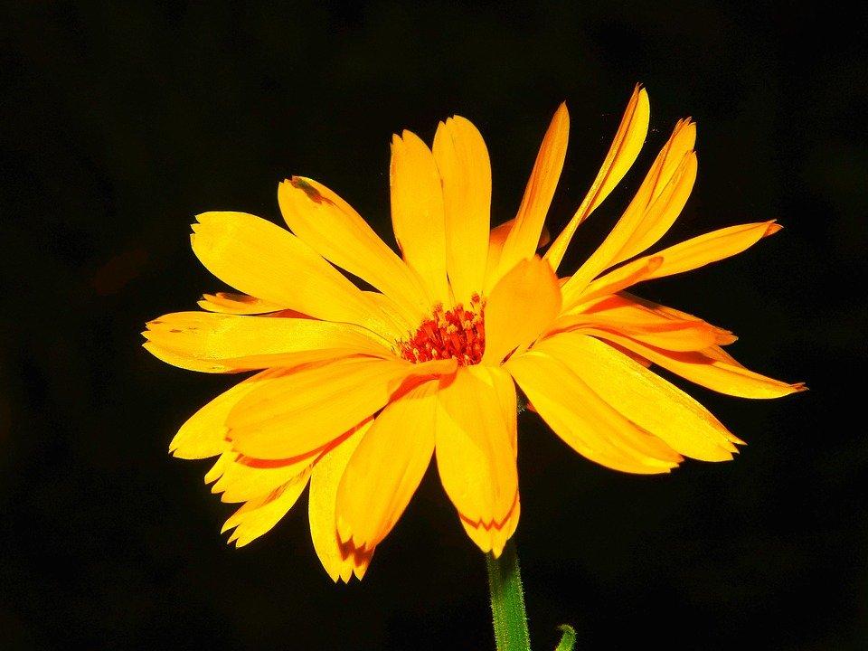 Le souci une plante m dicinale utile et facile for Plante utile